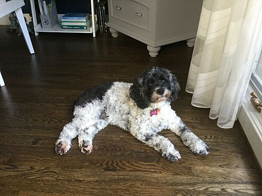 Mentor Oh Cockapoo Meet Maggie 8yr Adopted A Pet For Adoption