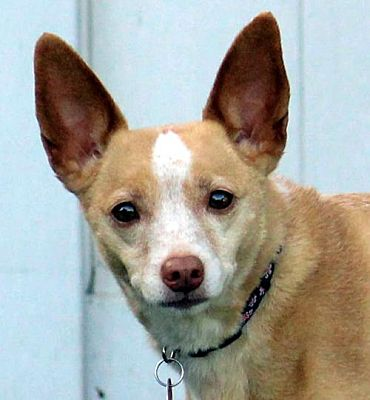 antioch ca terrier unknown type medium meet lexy a pet for