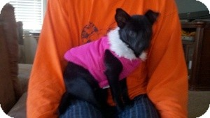 Chihuahua/Dachshund Mix Puppy for adoption in Marlton, New Jersey - Allie