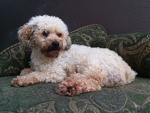 Mentor Oh Cockapoo Meet Brownie 5yr Adopted A Pet For Adoption