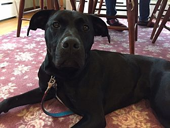 Labrador Retriever Mix Dog for adoption in kennebunkport, Maine - Becky - in New England