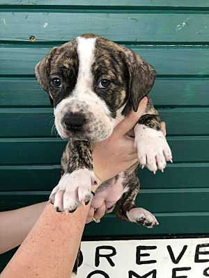 Fort Worth, TX - American Bulldog  Meet Athena a Pet for