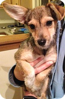 Bloomingdale, IL - Corgi  Meet Zoey a Pet for Adoption