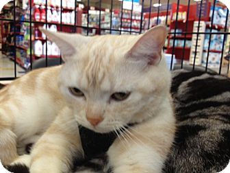 American shorthair cats for adoption