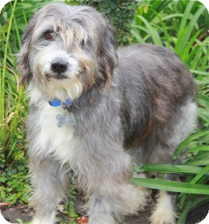 Bearded Collie Mix For