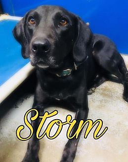 Adopt A Pet :: Storm  - Mt Vernon, IN