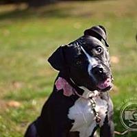 Adopt A Pet :: Babette - New York, NY