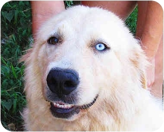 Waterbury Ct Golden Retriever Meet Kylie A Pet For Adoption