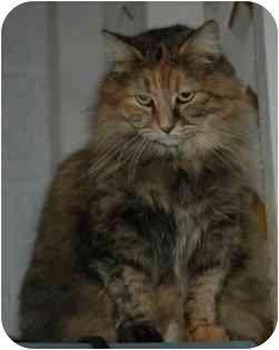 Domestic Longhair Cat for adoption in Blackstone, Virginia - Shania