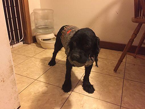 Mentor Oh Cocker Spaniel Meet Ralphie 8yr Adopted A Pet For