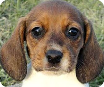 Wakefield Ri Beagle Meet Winnie