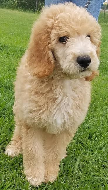 Denver, CO - Goldendoodle  Meet Bennett a Pet for Adoption