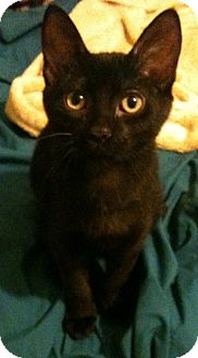 Domestic Shorthair Cat for adoption in Sterling Hgts, Michigan - Jeeves (one white whisker)