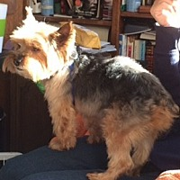 Yorkie, Yorkshire Terrier Puppies for Sale - Adoptapet com
