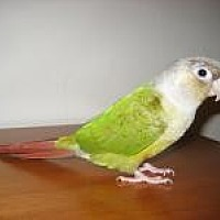 Adopt A Pet :: Pixie - Neenah, WI