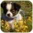 Photo 1 - Shih Tzu/Chihuahua Mix Puppy for adoption in Cranford, New Jersey - Maxwell