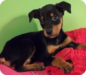 Struthers Oh Doberman Pinscher Meet Carolina A Pet For Adoption