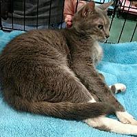 Adopt A Pet :: Kitty Bear - Garner, NC