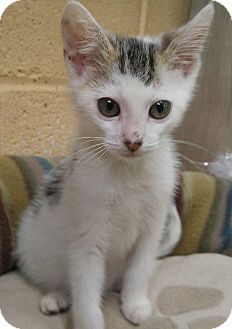 American Shorthair Kitten for adoption in Bryson City, North Carolina - Garth