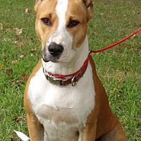 Great Dane/Retriever (Unknown Type) Mix Dog for adoption in Williamsport, Maryland - Little Bit (60 lb) GREAT Dog