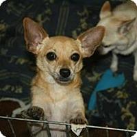 Adopt A Pet :: Chi chi - Brooksville, FL