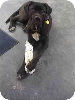 New York Ny Cane Corso Meet Tango In A Pet For Adoption