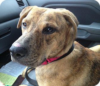 Labrador Retriever/Shepherd (Unknown Type) Mix Dog for adoption in Richmond, Virginia - Spirit