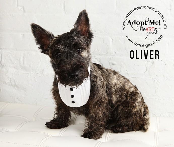 Omaha Ne Scottie Scottish Terrier Meet Oliver Pending Adoption A Pet For Adoption