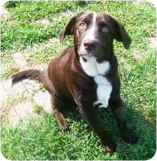chocolate lab brittany spaniel mix goldenacresdogscom