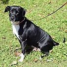 Adopt A Pet :: Cersei(53 lb) GREAT Family Pet
