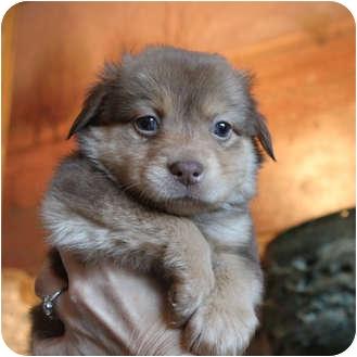 Dog Adoption Australian Shepherd
