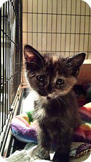 Domestic Shorthair Kitten for adoption in Clarkson, Kentucky - Checkers