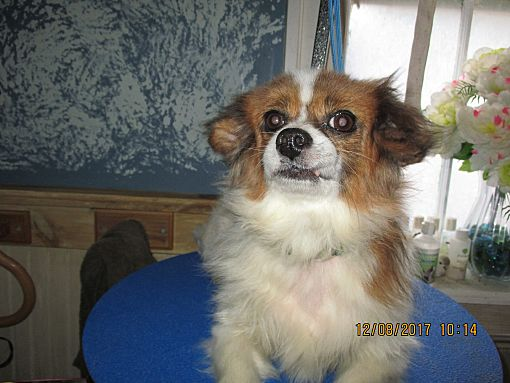 Papillon rescue new england