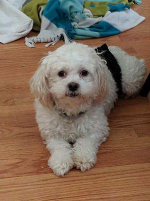 Chicago, IL - Bichon Frise  Meet Oscar a Pet for Adoption