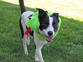 Adopt A Pet :: HANK  - Nampa, ID