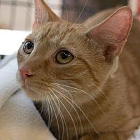 Adopt A Pet :: Felix - New York, NY