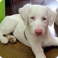 Adopt A Pet :: Bert - DEAF - pending adoption - Post Falls, ID