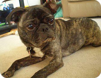 owatonna mn pug meet coco a dog for adoption