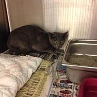 Adopt A Pet :: Piccolo - Johnstown, PA
