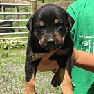 Adopt A Pet :: Serena's Royal Family Pups - Charlotte (Has Application)