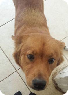 Miami, FL - Golden Retriever  Meet Egypt a Pet for Adoption