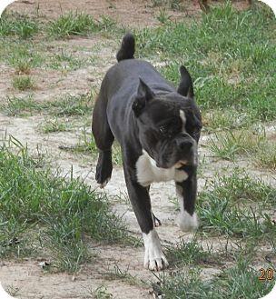Clarksville, TN - Boston Terrier  Meet George a Pet for
