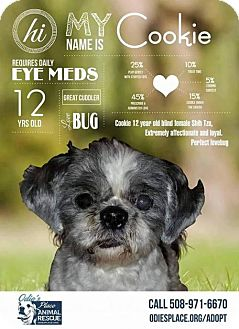 Shih Tzu Dog for adoption in Dartmouth, Massachusetts - Cookie