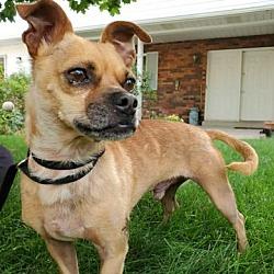 Pug Puppies for Sale in Utah - Adoptapet com
