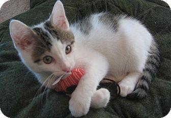 Domestic Shorthair Kitten for adoption in Hendersonville, Tennessee - Ellington