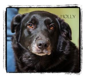 Border Collie/Labrador Retriever Mix Dog for adoption in Warren, Pennsylvania - Holly