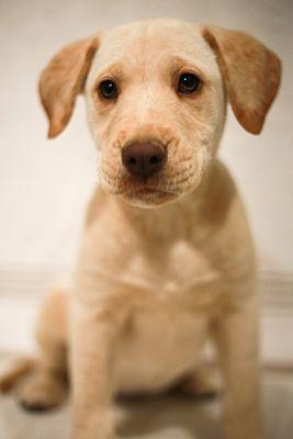Macon Ga Golden Retriever Meet Happy A Pet For Adoption