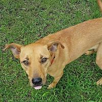 Labrador Retriever Mix Dog for adoption in Covington, Tennessee - Betsy