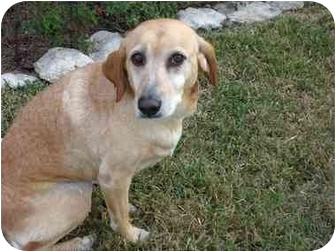 Labrador Retriever/Golden Retriever Mix Dog for adoption in Austin, Texas - Akilah