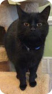 Domestic Shorthair Cat for adoption in Breinigsville, Pennsylvania - Dakota